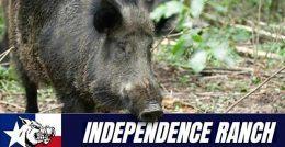 wild-hog-hunt-1-1-1-8-7162972-original-jpg